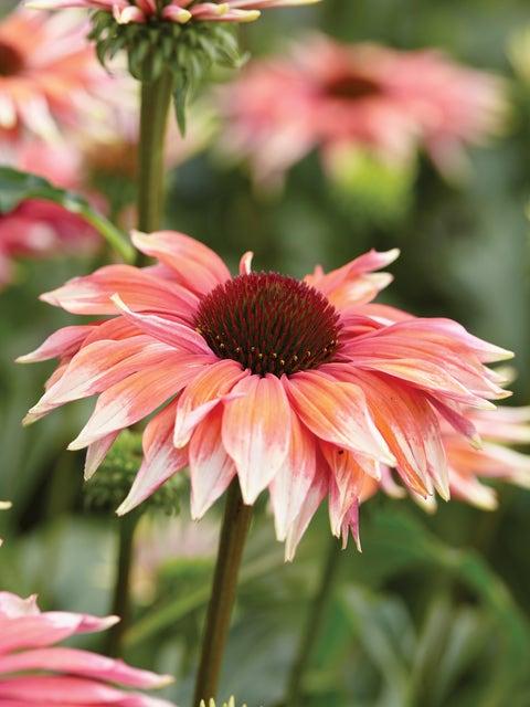 Echinacea, Playful Meadow Mama