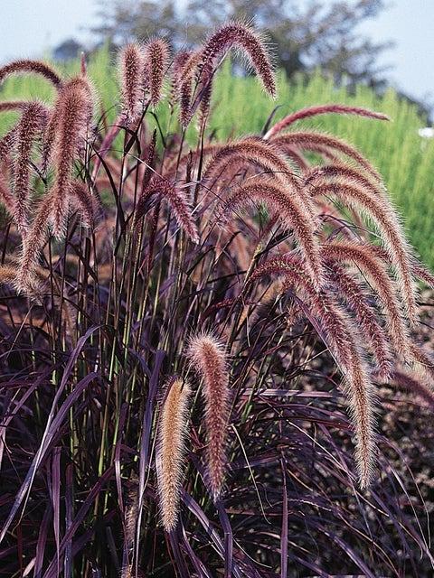 Ornamental Grass, Pennisetum
