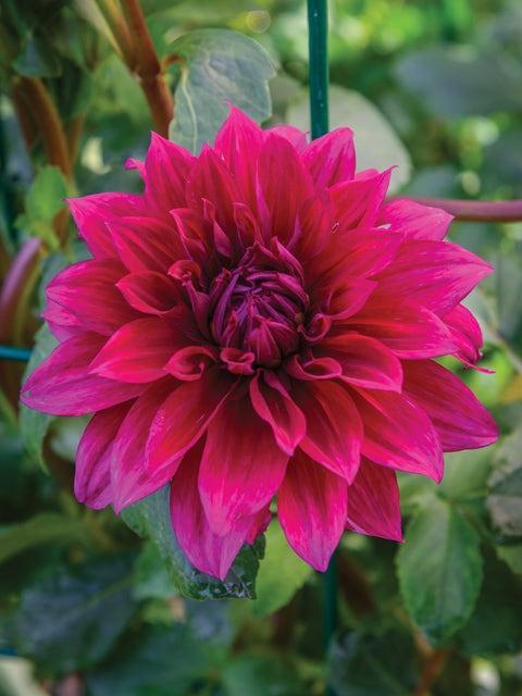 Dahlia, Babylon Purple