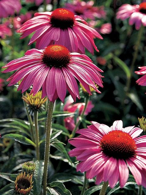 Echinacea, Primadonna Deep Rose