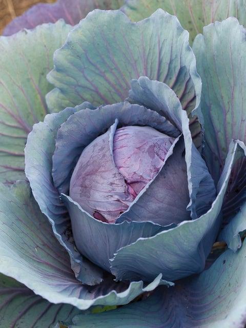 Cabbage, Salad Delight