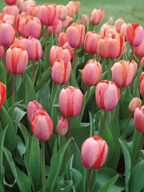 Tulip, Apricona