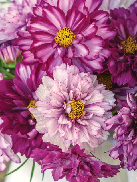 Cosmos, Double Click Bicolor Violet