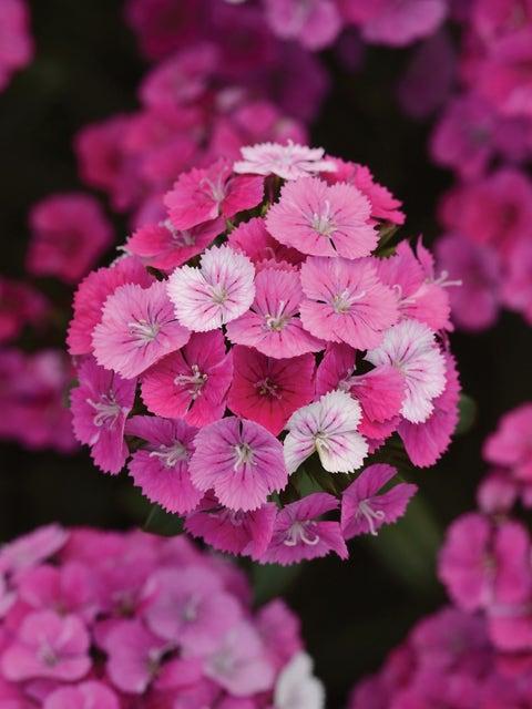 Dianthus, Jolt Pink Magic