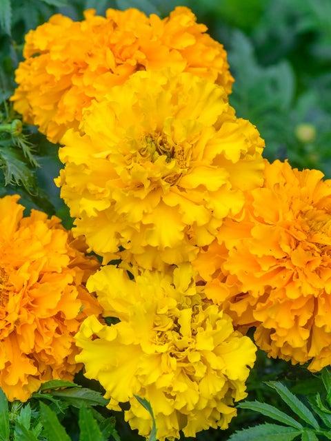 Marigold, Climax Mixed Colors