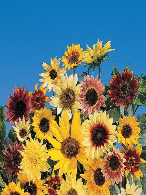 Sunflower, Fantasia Mix Hybrid