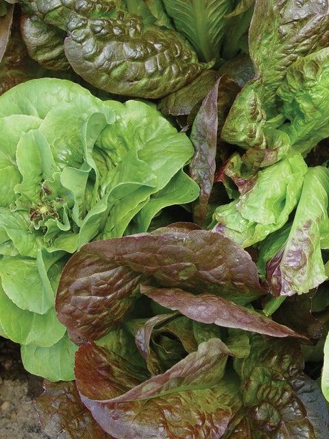 Lettuce, Bibb Blend