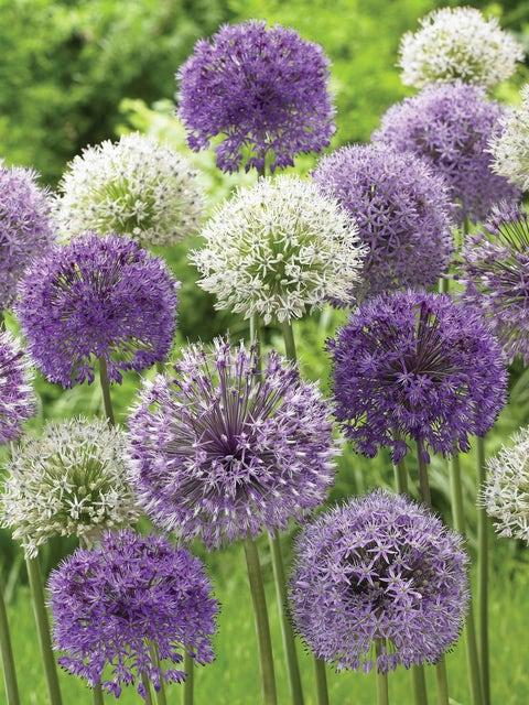 Allium, Rosenbachianum Mix
