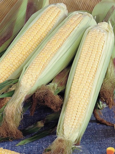 Corn, Kandy Korn (SE)  Hybrid