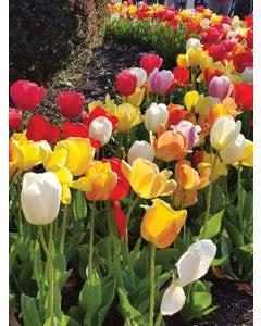Tulip, Perennial Tulip Mix (Darwin)