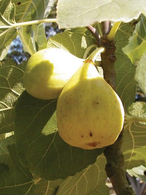 Fig, White Marseilles
