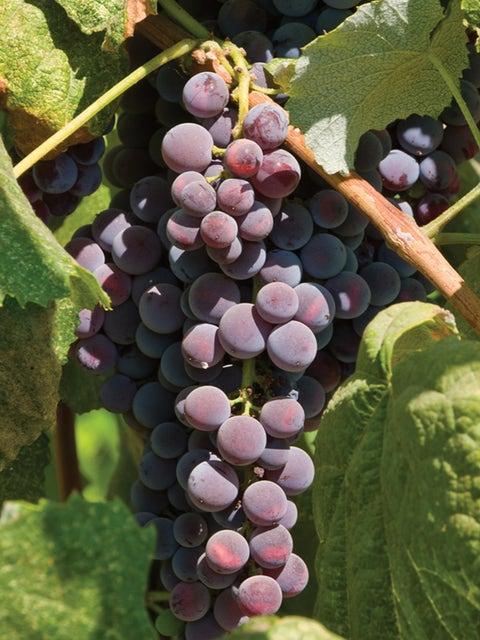 Grape, Saint Theresa