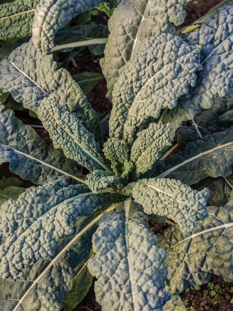 Kale, Black Magic