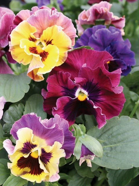 Pansy, Moulin Rouge