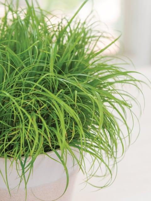 Cat Grass, Zumula