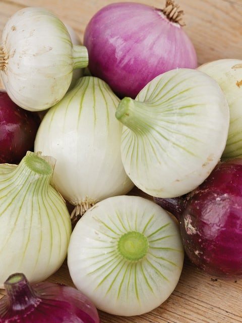 Onion, Short Day Collection