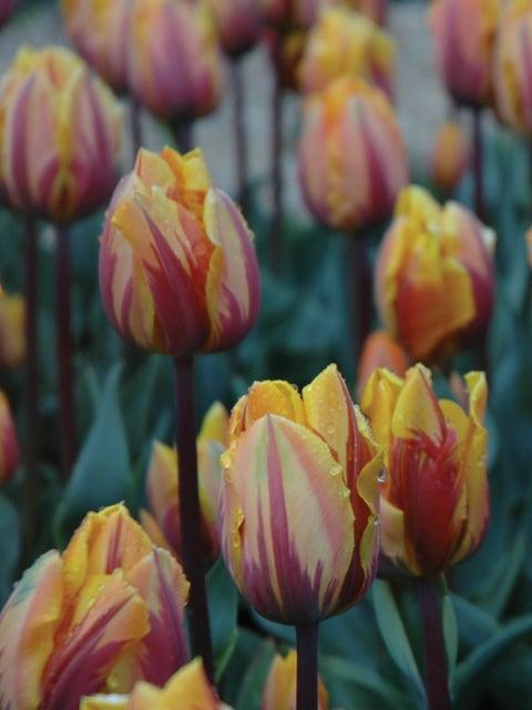 Tulip, Princess Margaret
