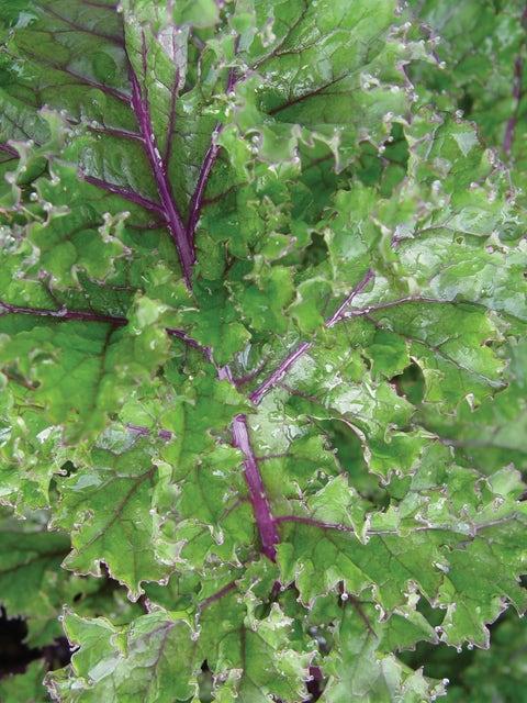 Kale, Red Winter Organic