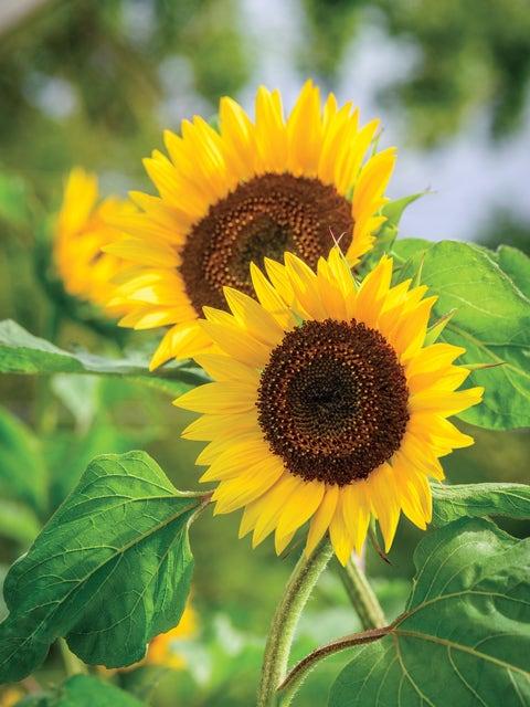 Sunflower, Busy Bee