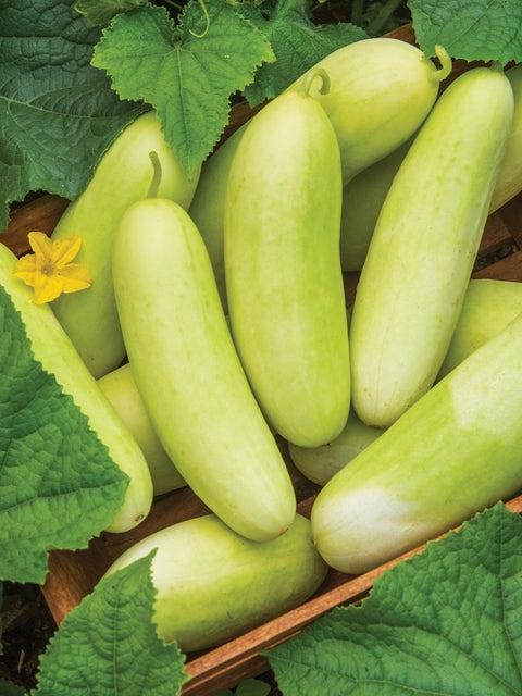 Cucumber, Honey Plus Hybrid
