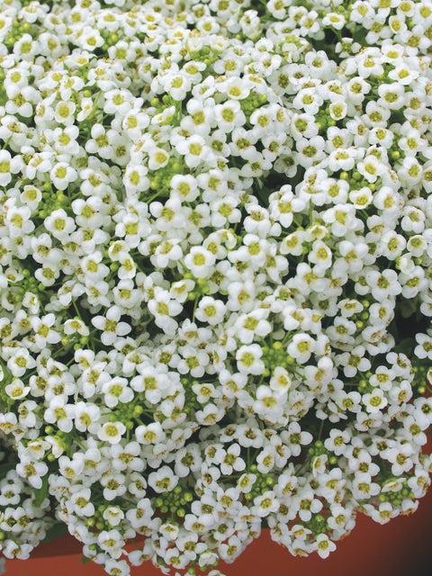 Alyssum, Carpet Of Snow