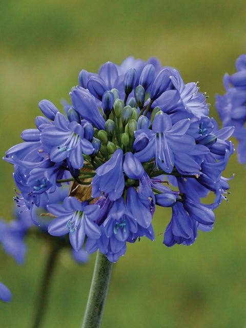Agapanthus, Galaxy Blue