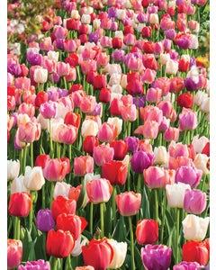 Tulip, Rainbow River Blend