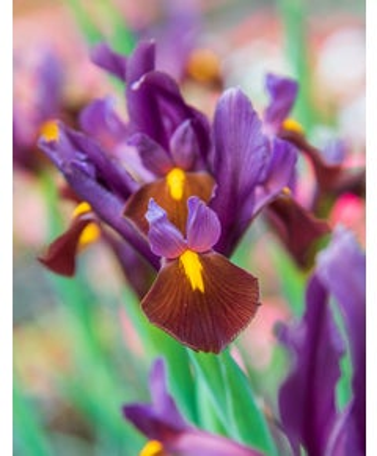 Iris, Red Ember