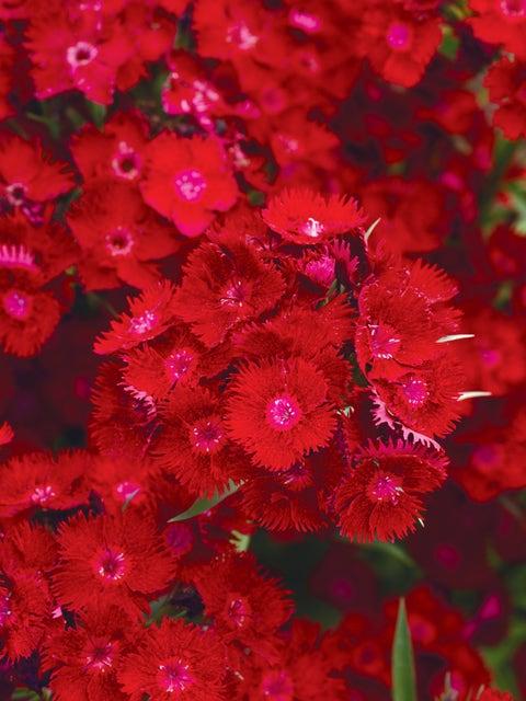 Dianthus, Rockin Red