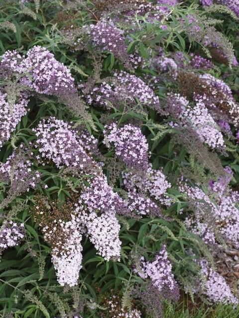 Buddleia, Lilac Cascade