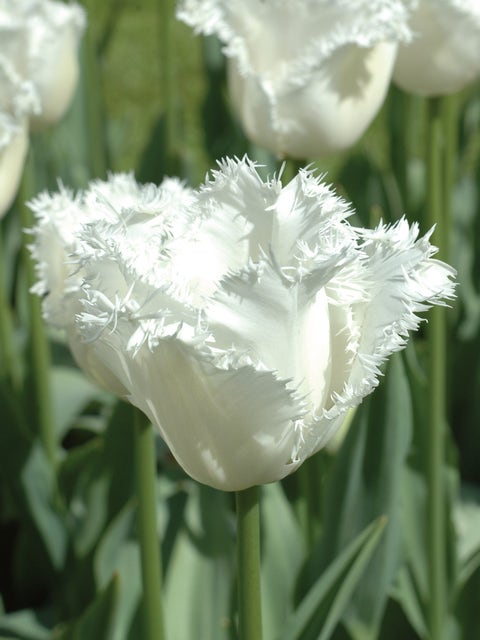 Tulip, Honeymoon