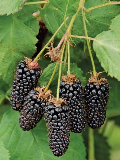 Blackberry, Columbia Giant
