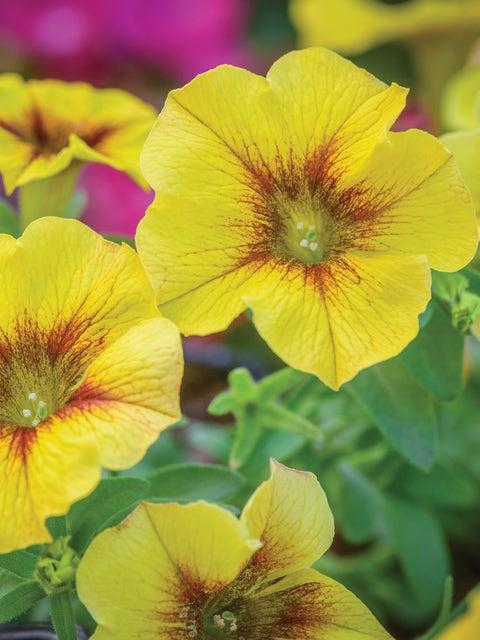 Petunia, SuperCal® Premium Caramel Yellow