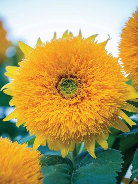 Sunflower, Honey Bear