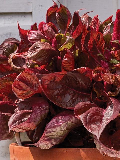 Celosia, Sol Lizzard Leaf