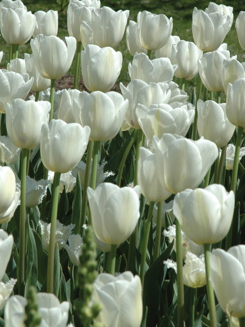 Tulip, Maureen