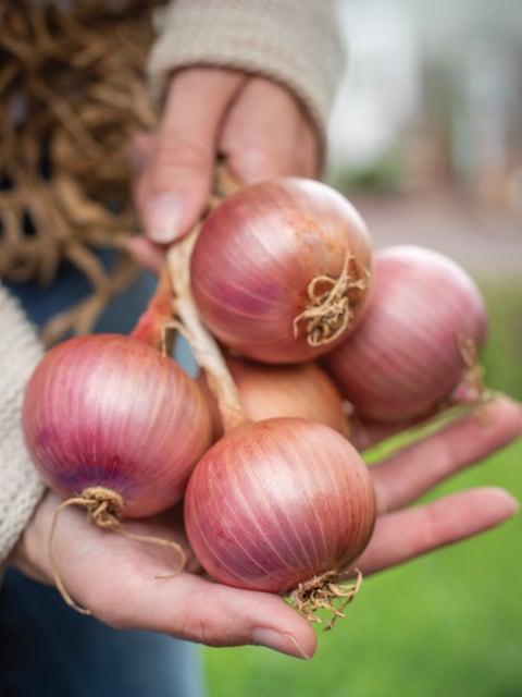 Onion Blush Hybrid