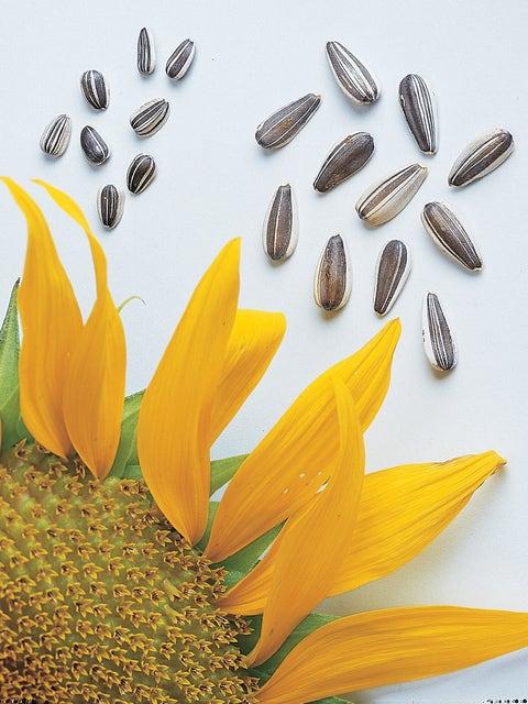 Sunflower, Super Snack Mix Hybrid