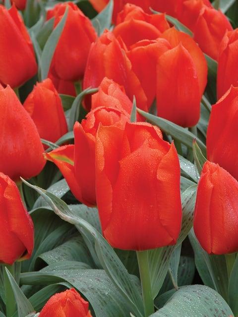Tulip, Giant Orange Sunrise