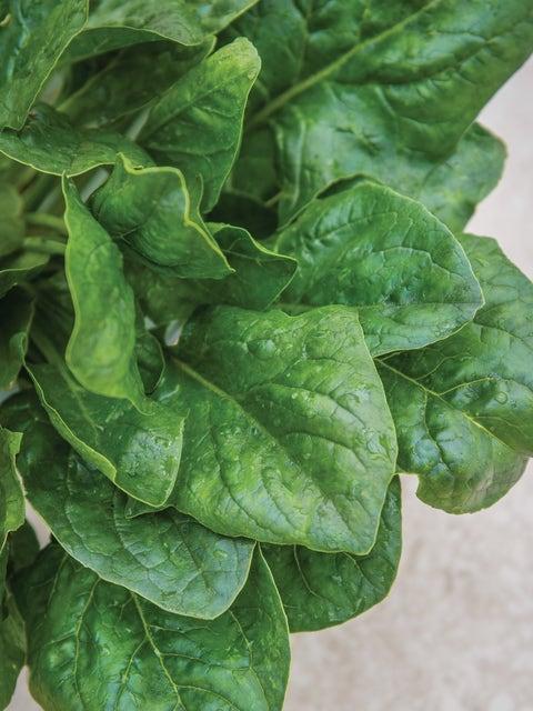 Spinach, Riverside Hybrid