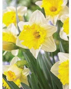 Daffodil,  Las Vegas