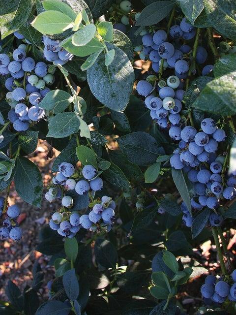 Blueberry, Misty
