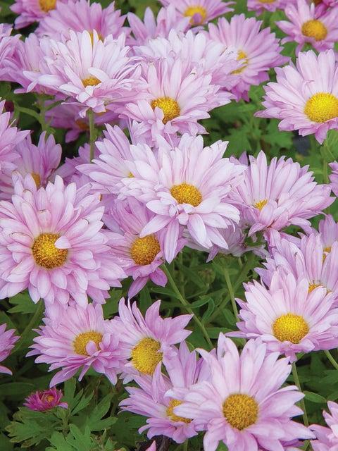 Garden Mum, Mammoth Daisy Lavender