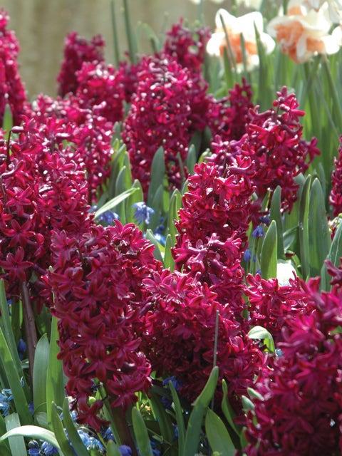 Hyacinth, Hollyhock