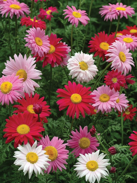 Painted Daisy, Mixed Colors