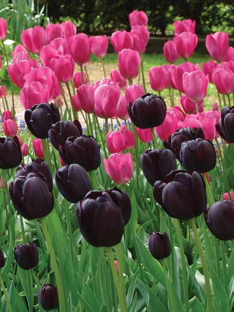 Tulip Mix, Queen of Night and Don Quichotte