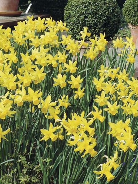 Daffodil, February Gold