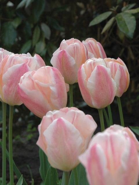 Tulip, Sugar Love