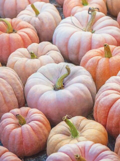 Pumpkin, Porcelain Princess Hybrid