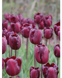 Tulip, Continental